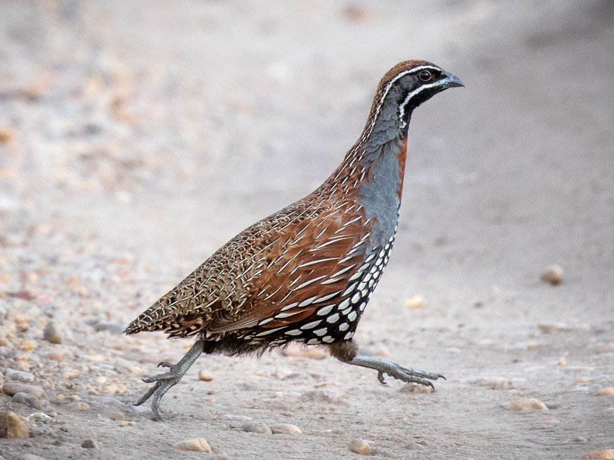 Madagascar Partridge - Skip Russell