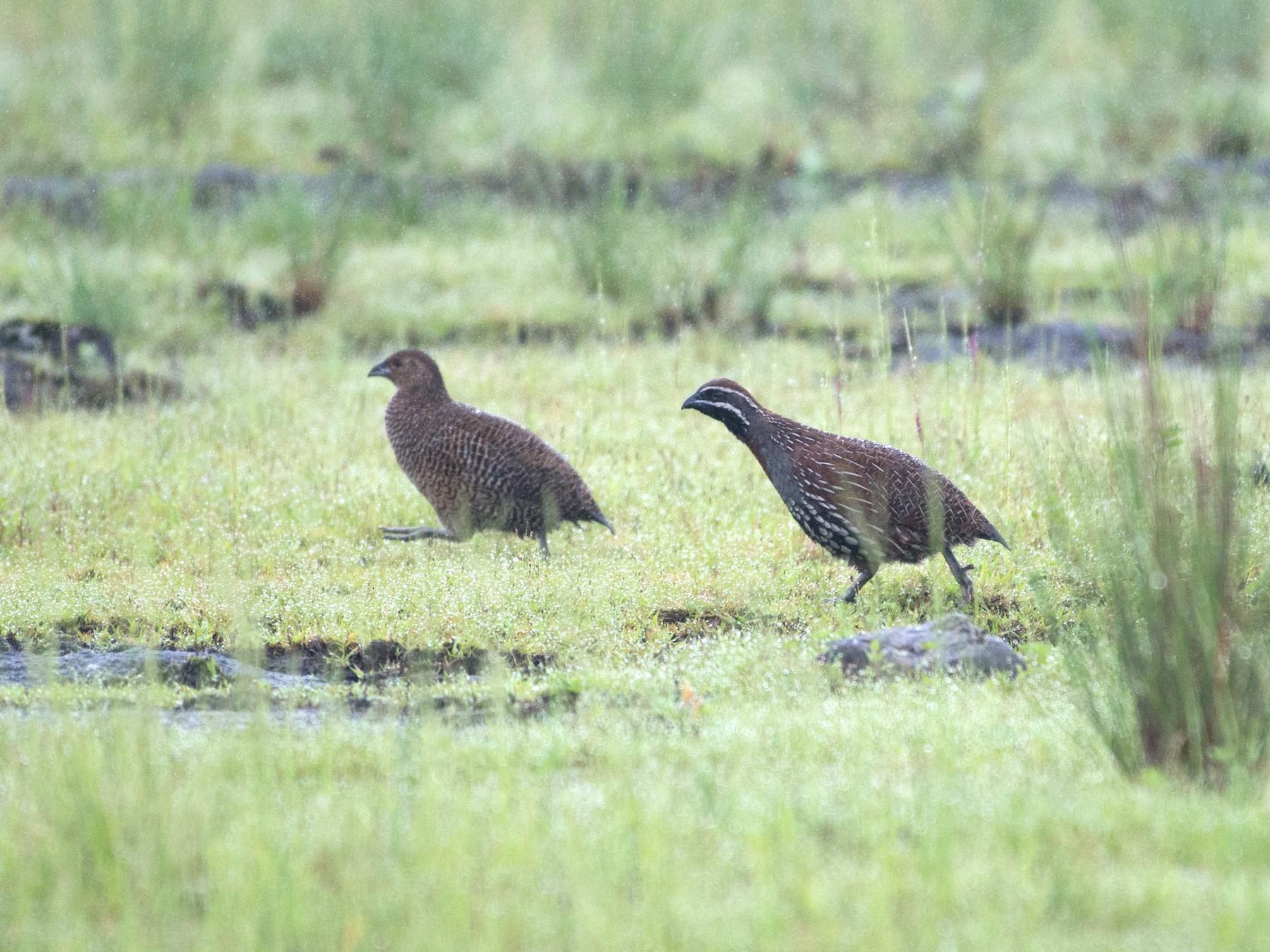 Madagascar Partridge - John C. Mittermeier
