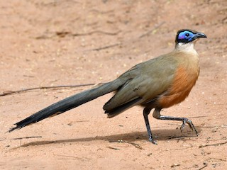 - Giant Coua