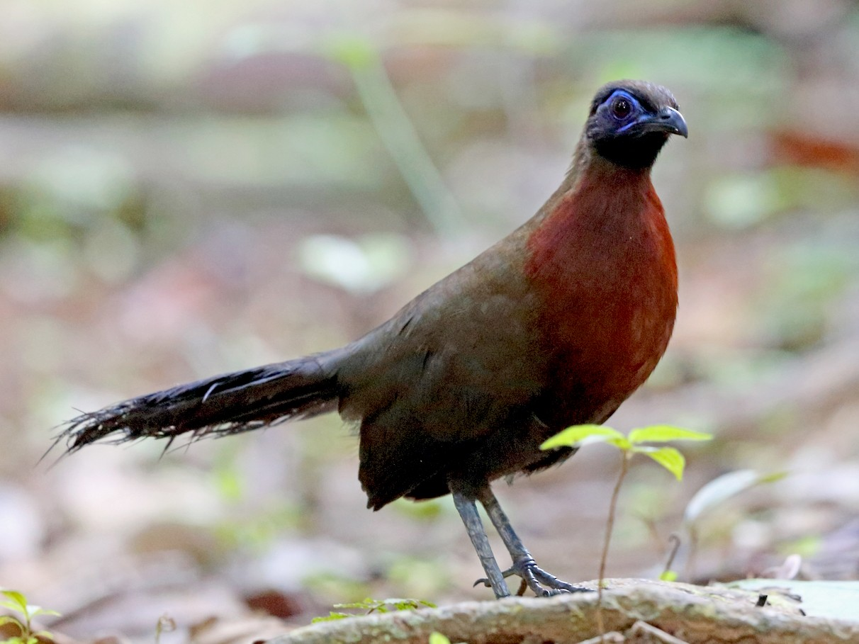 Red-breasted Coua - Nigel Voaden