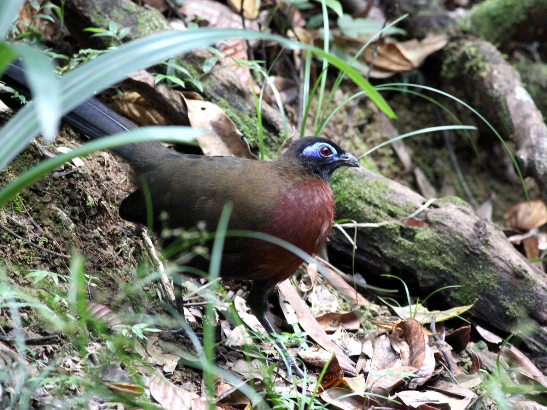Red-breasted Coua - Scott (瑞興) LIN(林)