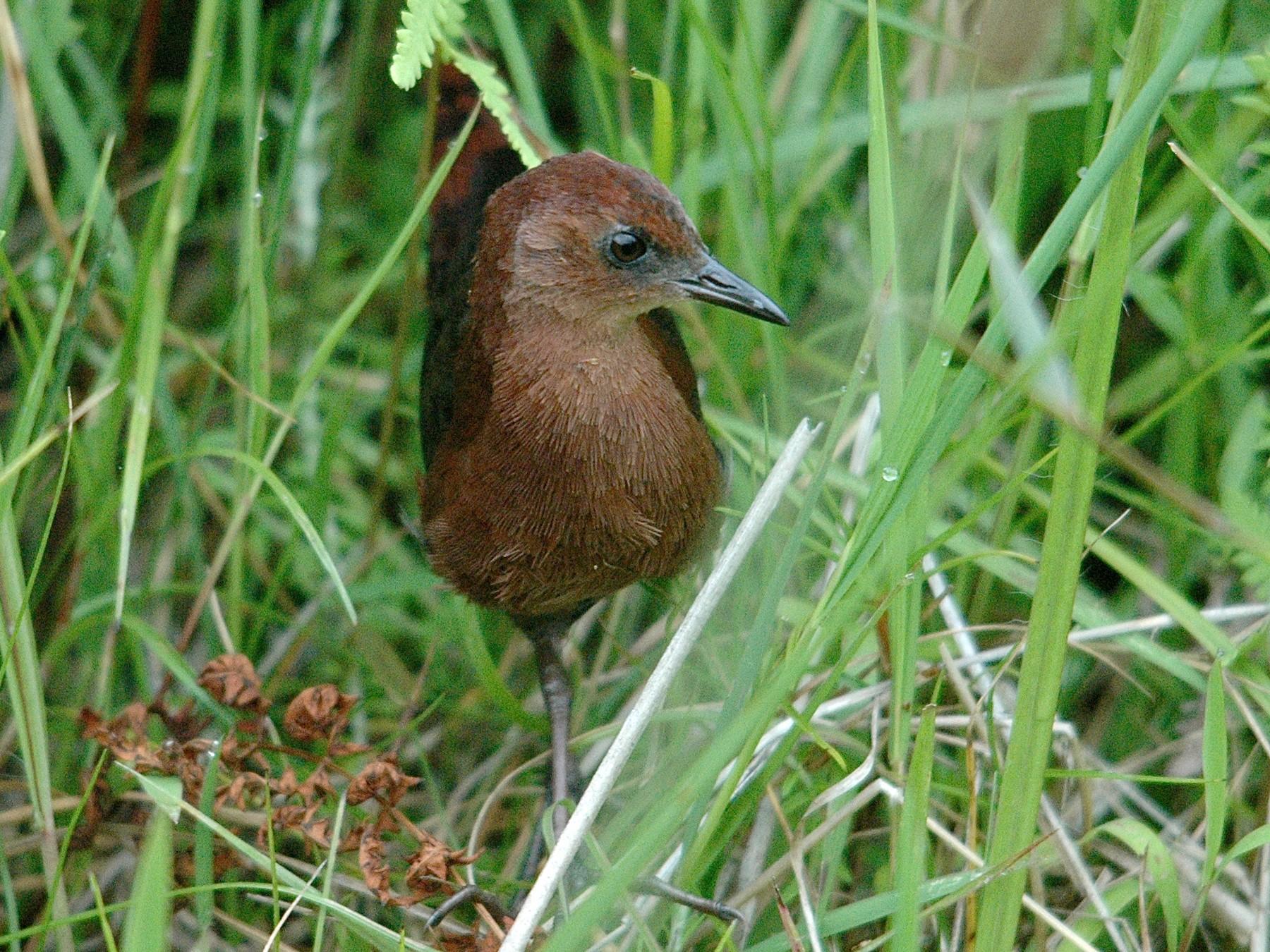 Slender-billed Flufftail - Craig Robson