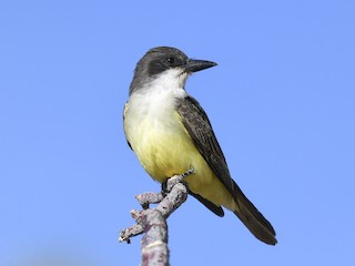 - Thick-billed Kingbird
