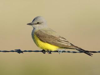 - Western Kingbird