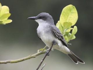 - Gray Kingbird