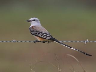 - Scissor-tailed Flycatcher
