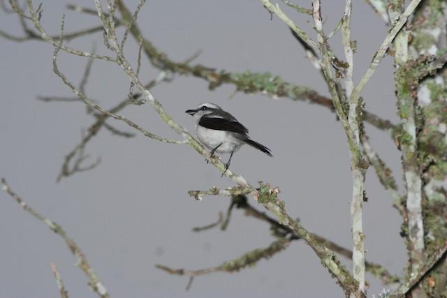 Mackinnon's Shrike