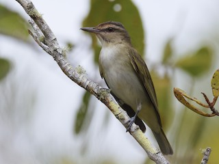 - Black-whiskered Vireo