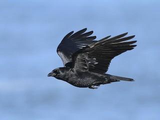 - American Crow