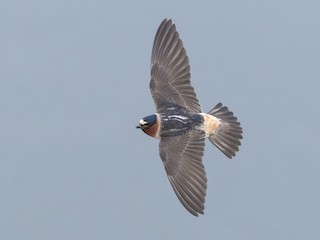 - Cliff Swallow