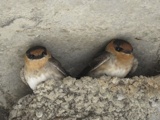 - Cave Swallow