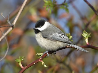 - Carolina Chickadee