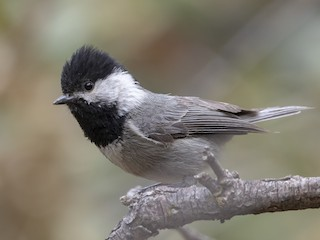 - Mexican Chickadee