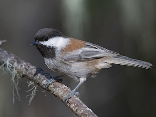 - Chestnut-backed Chickadee