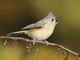 - Tufted Titmouse