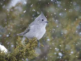 - Juniper Titmouse
