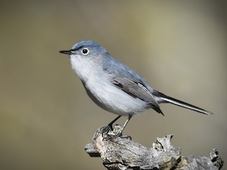 - Blue-gray Gnatcatcher