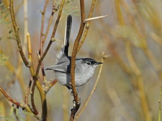 - Black-tailed Gnatcatcher