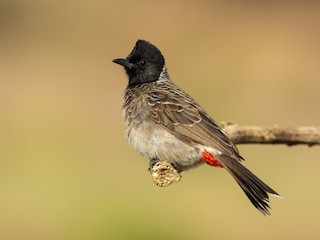 - Red-vented Bulbul