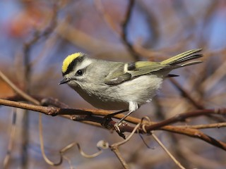 - Golden-crowned Kinglet