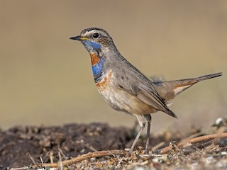 - Bluethroat