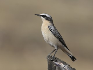 - Northern Wheatear