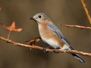 - Eastern Bluebird (Eastern)