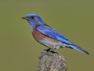 - Western Bluebird