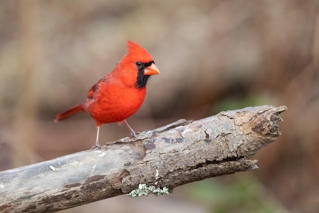 Northern Cardinal ML192104271