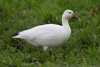 Snow Goose, ML192230751