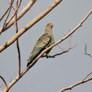 Seychelles Blue-Pigeon
