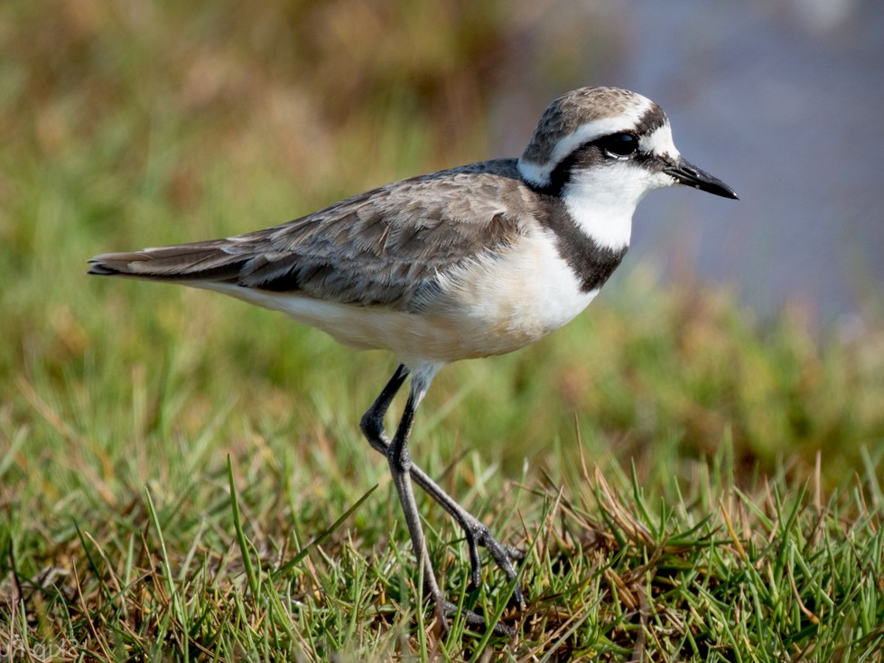 Madagascar Plover - Skip Russell