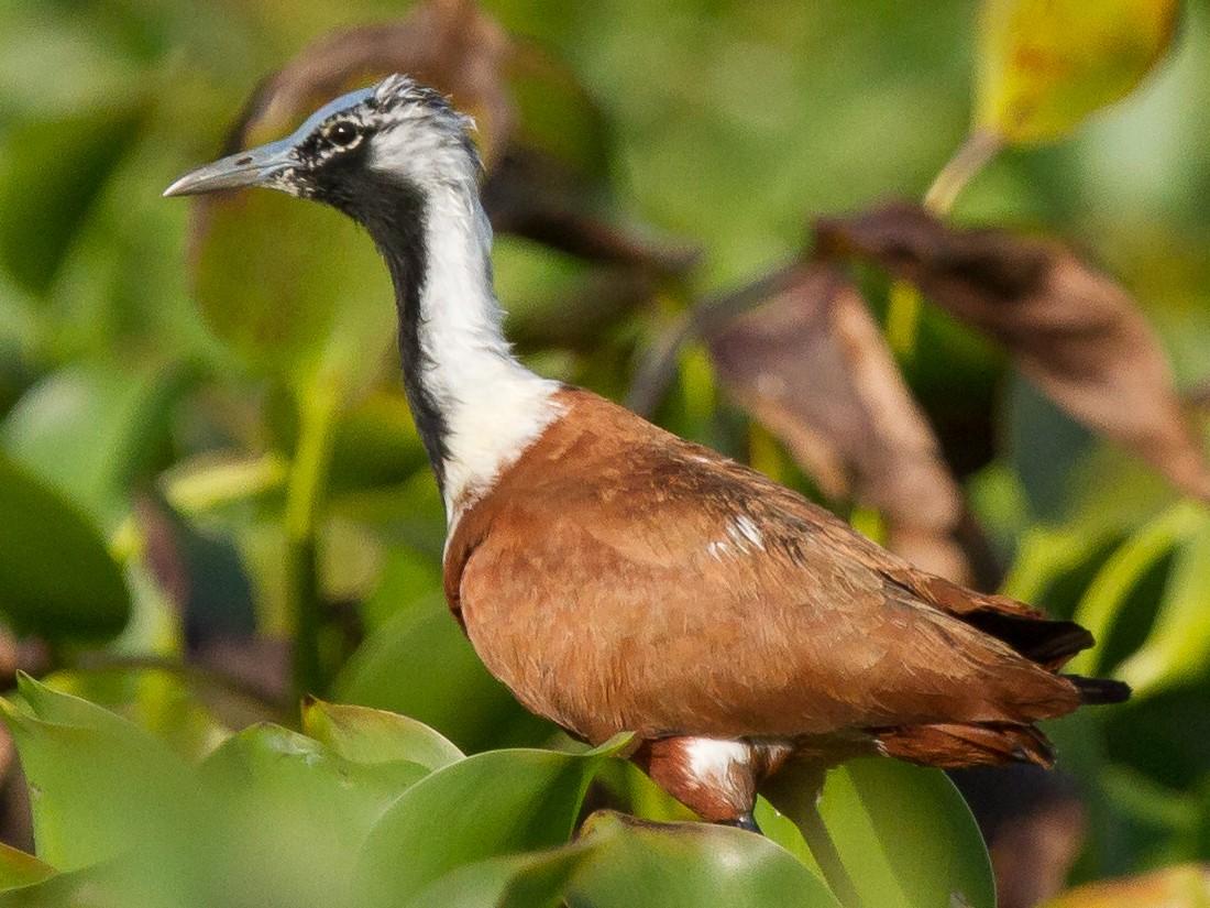 Madagascar Jacana - Robert Lewis