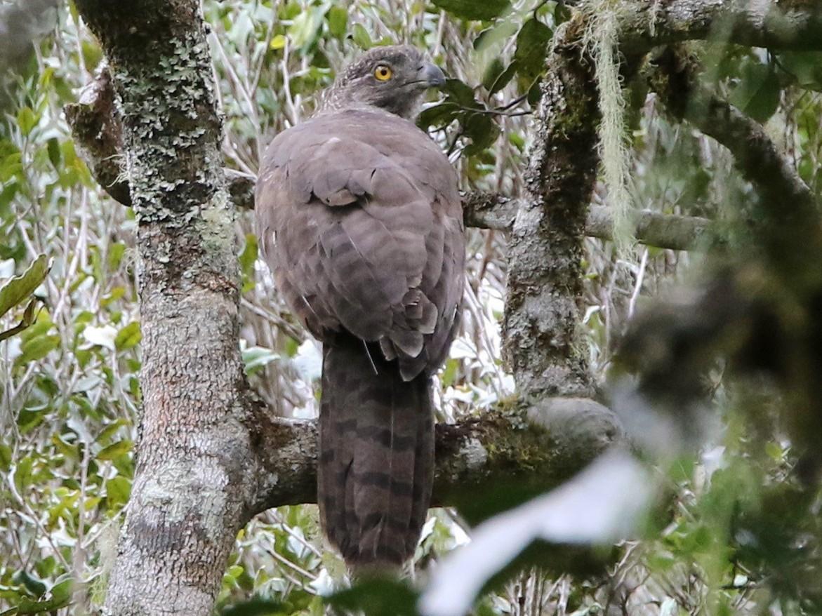 Madagascar Serpent-Eagle - Olivier Langrand