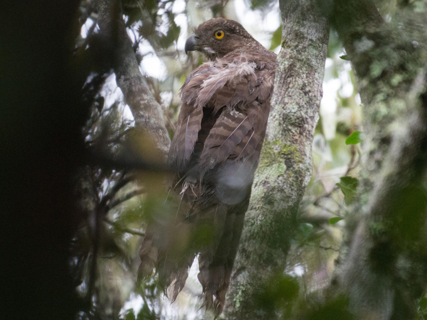 Madagascar Serpent-Eagle - John C. Mittermeier