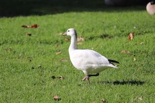 Ross's Goose, ML192340051