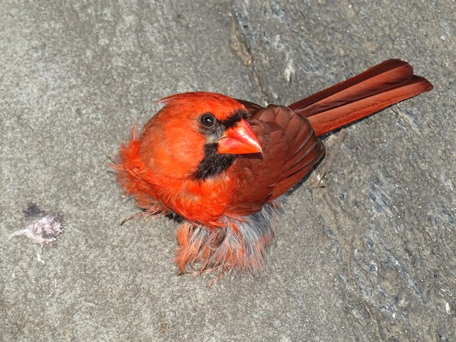 Molting male with loosely attached patches of contour feathers.