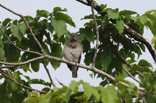 Female Pompadour Cotinga.