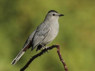- Gray Catbird