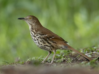 - Brown Thrasher
