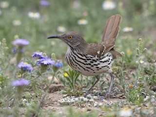 - Long-billed Thrasher