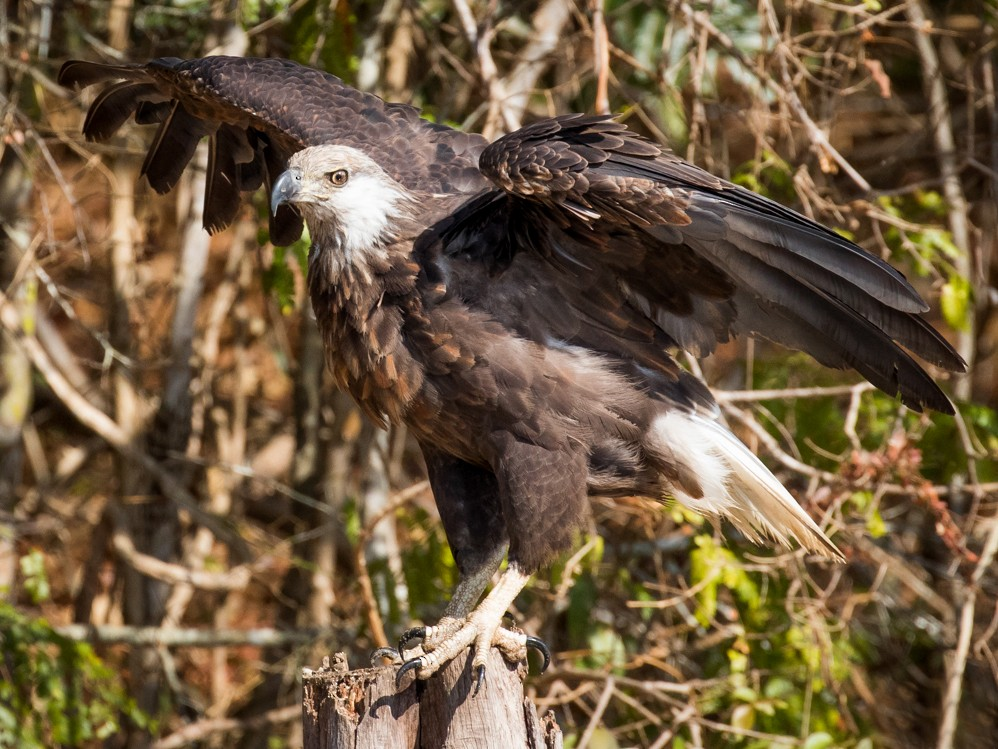 Madagascar Fish-Eagle - Skip Russell