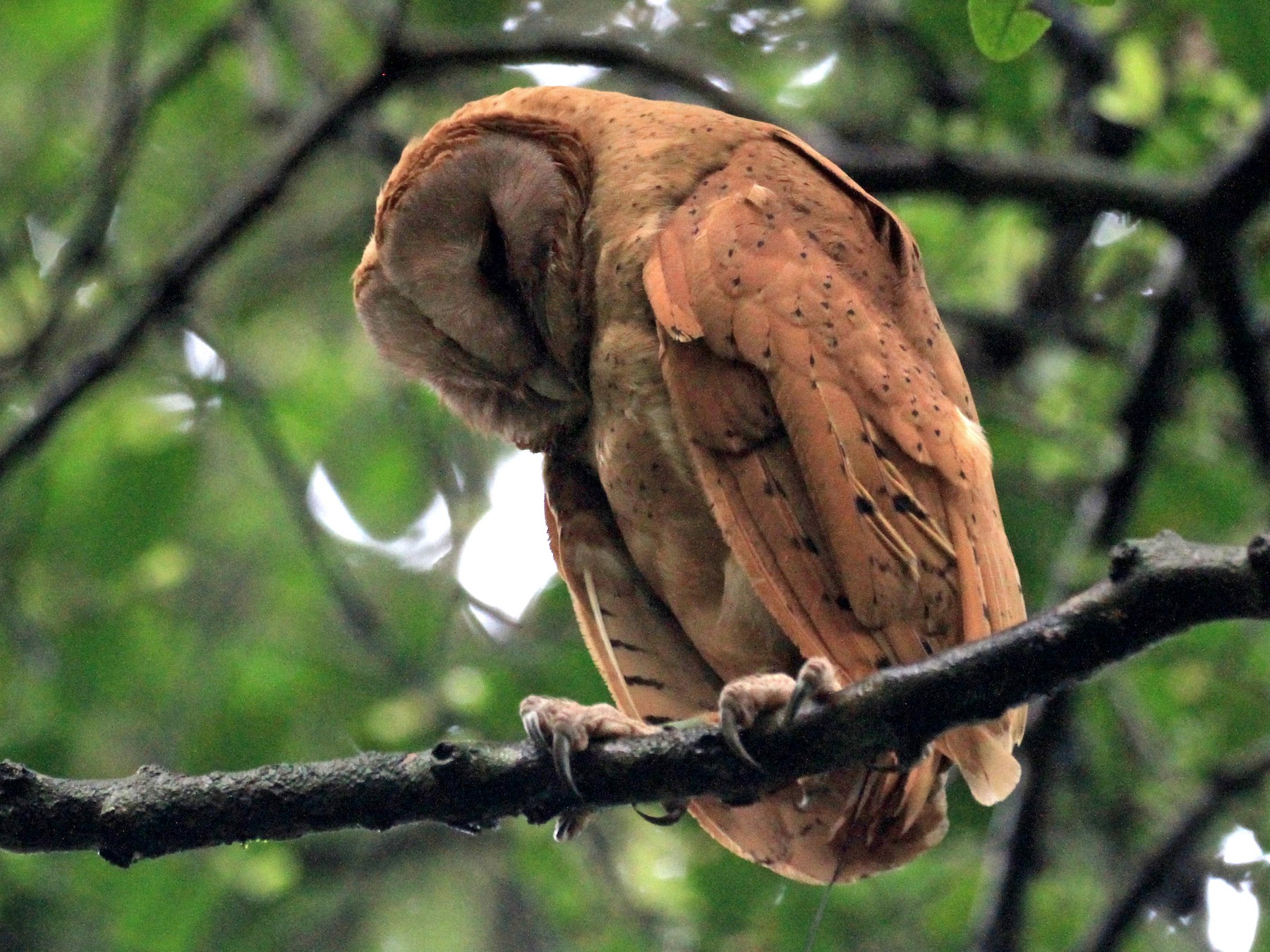 Red Owl - Charles Davies