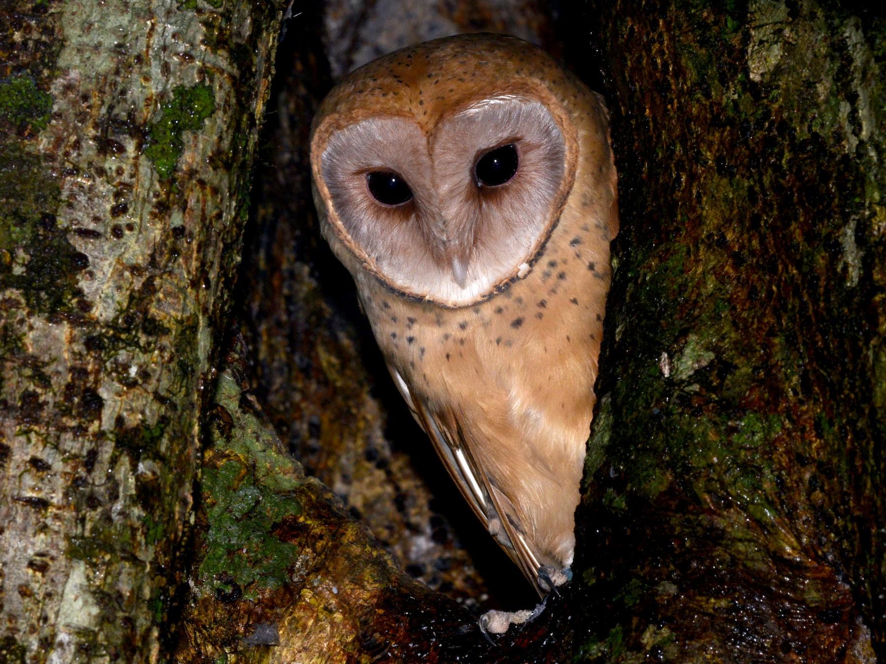 Red Owl - Alan Van Norman