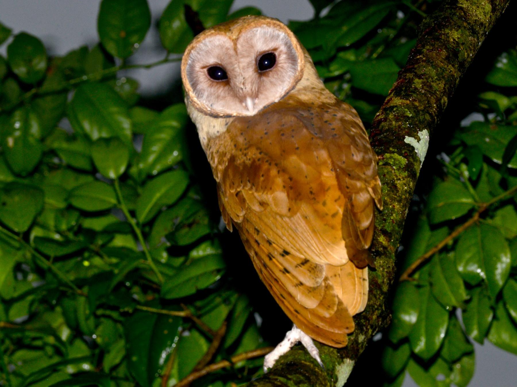 Red Owl Ebird