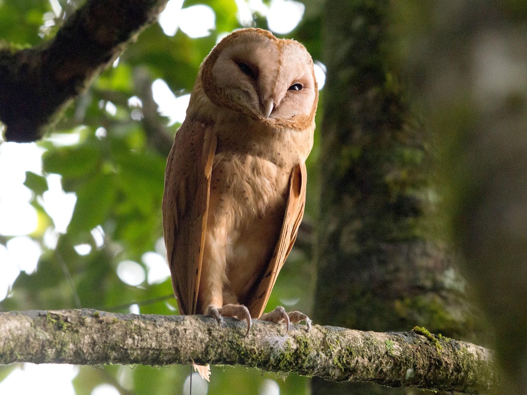 Red Owl - John C. Mittermeier