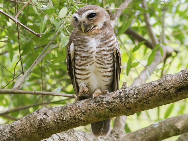White-browed Owl - Yeray Seminario