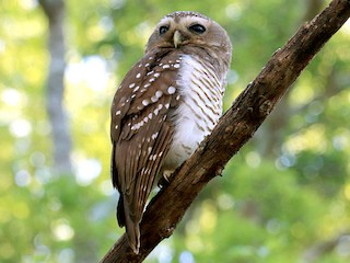 - White-browed Owl
