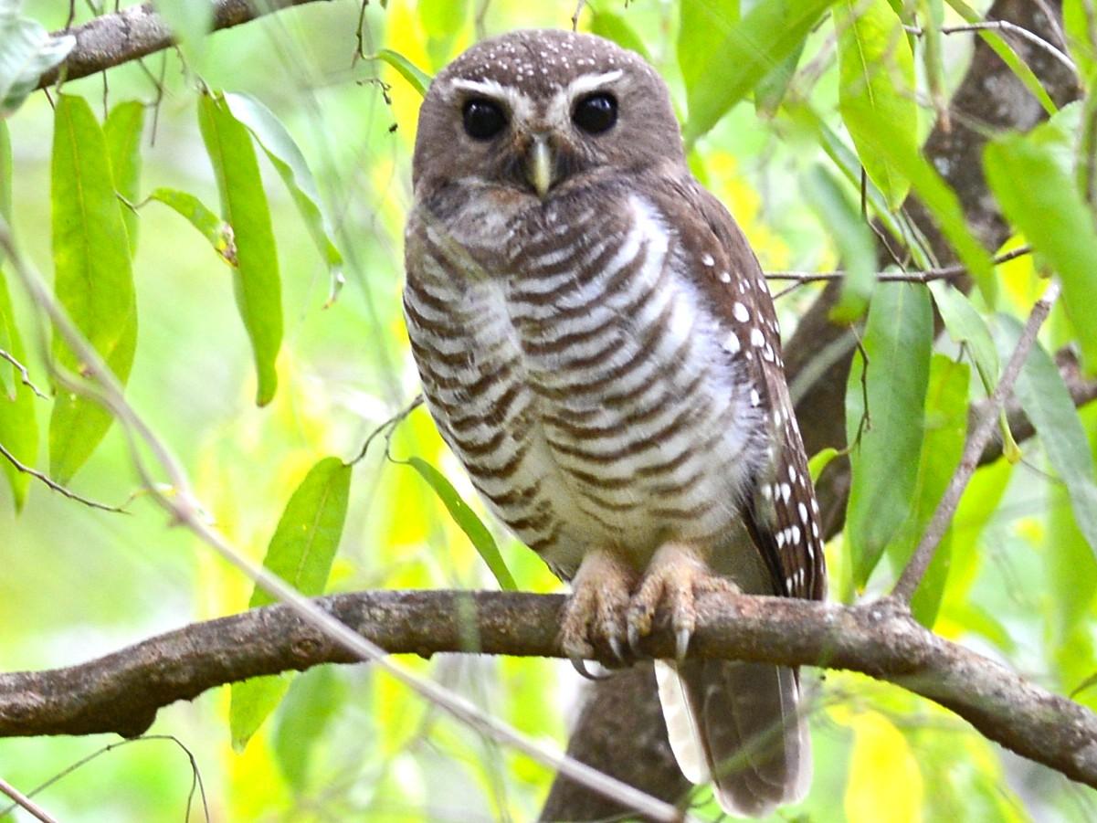 White-browed Owl - Alan Van Norman