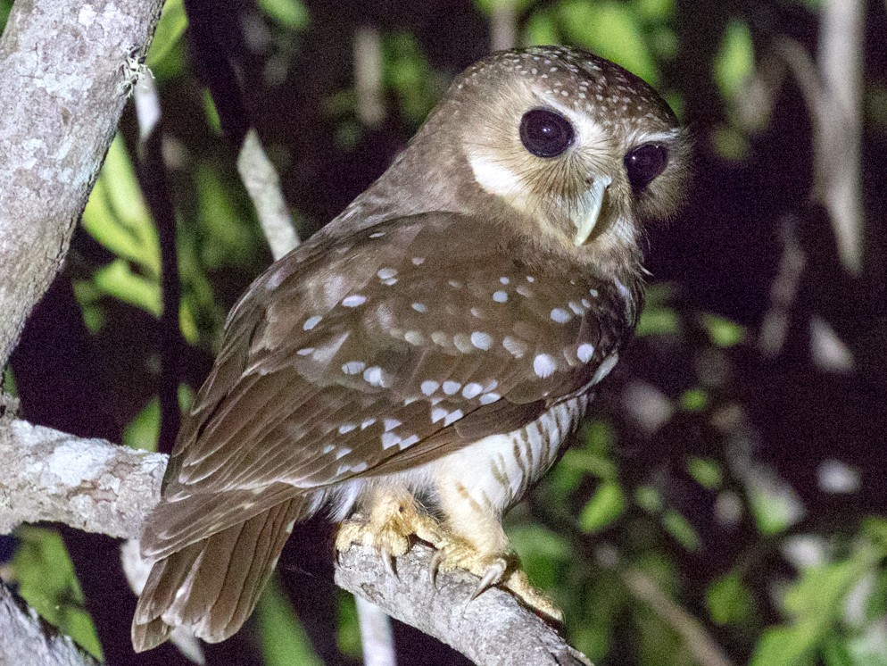 White-browed Owl - Skip Russell